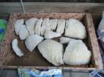 koraal stukken voor in bv aquariums etc.